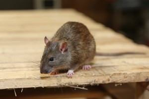Rodent Control, Pest Control in Gravesend, Northfleet, DA11. Call Now 020 8166 9746