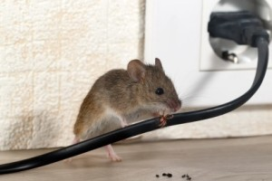 Mice Control, Pest Control in Gravesend, Northfleet, DA11. Call Now 020 8166 9746