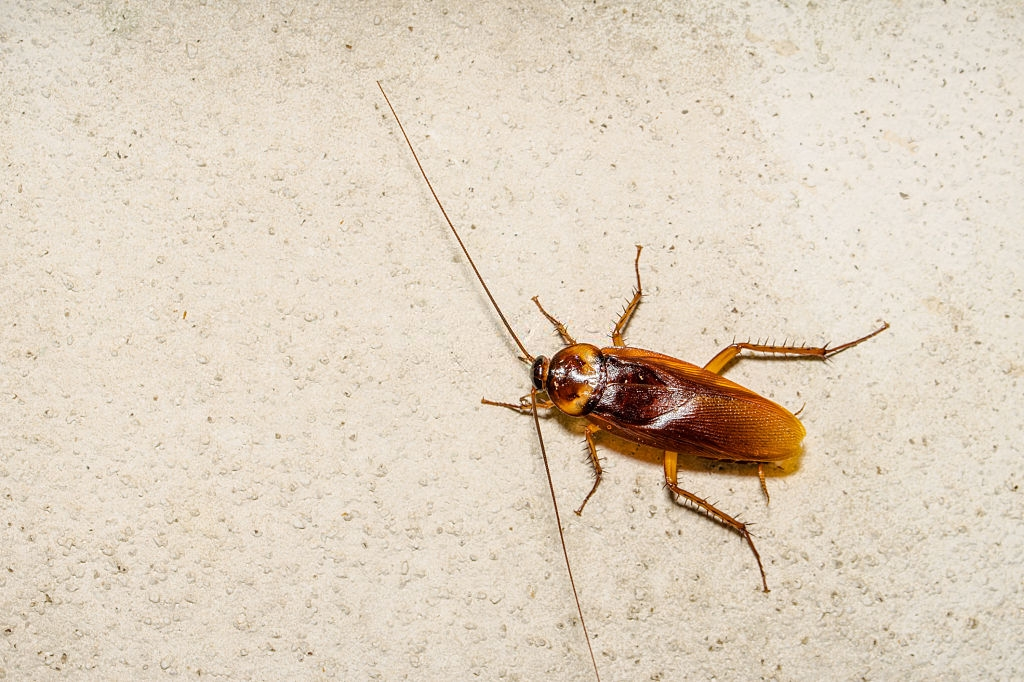 Cockroach Control, Pest Control in Gravesend, Northfleet, DA11. Call Now 020 8166 9746
